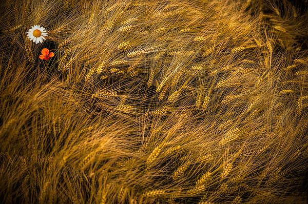 Fine Art natuur foto van een gouden korenveld top down van boven naar beneden gefotografeerd met prachtige gouden halmen gevormd door de wind met een kamille bloem en klaproos.