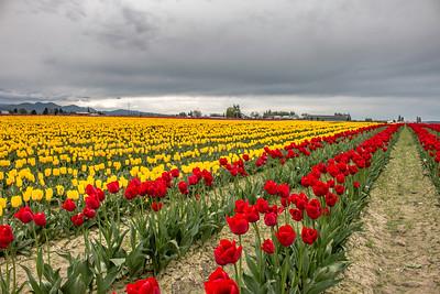 2017 Skagit Valley Tulips