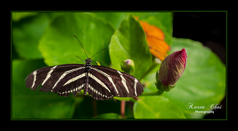 sm Brown & White panoramic butterfly.jpg