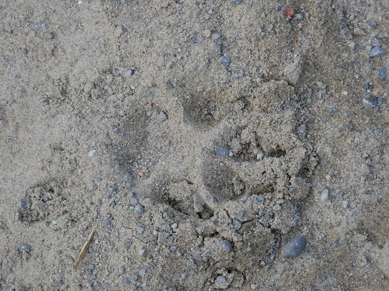 Domestic Dog - track