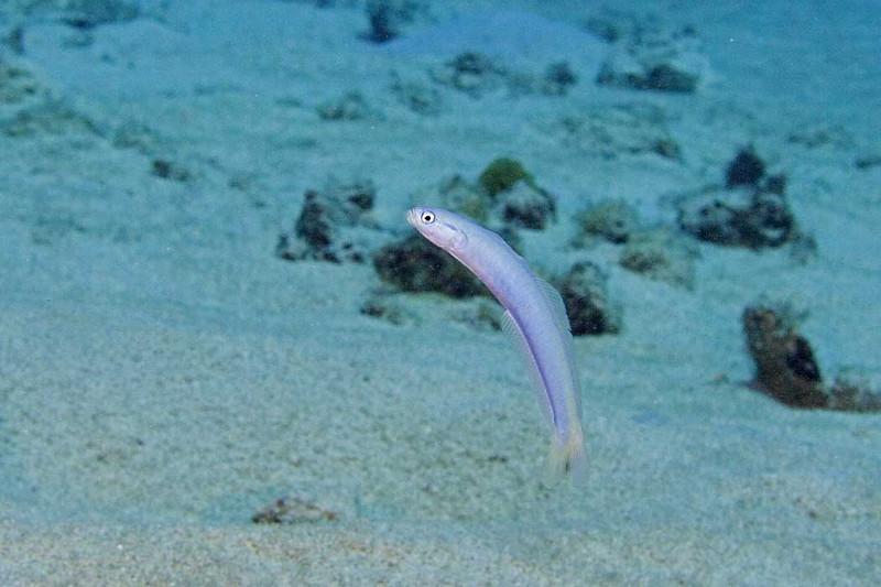 Indigo-Dart-Fish.jpg