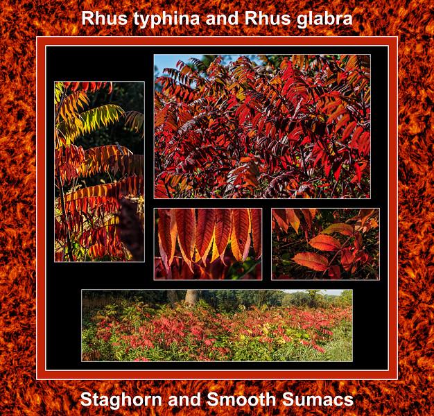 Fall primer:  Sumac setting the landscape on fire