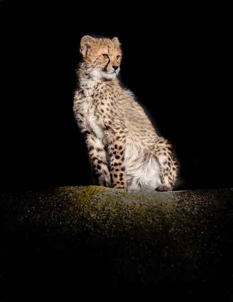 Cute cheetah cub side view