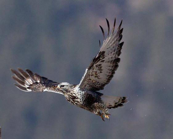 Hawks, Kites, Eagles, and Allies (Accipitridae)