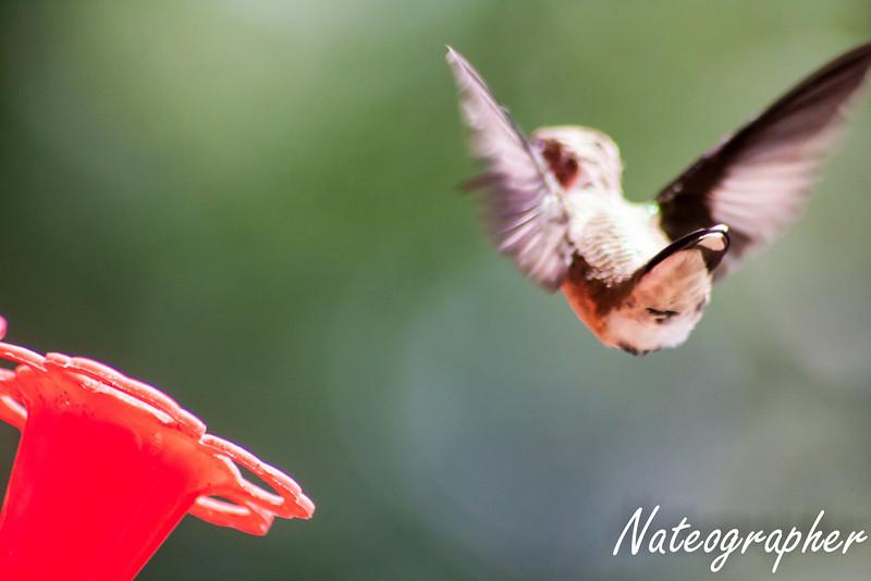 HummingBirds-4292.jpg