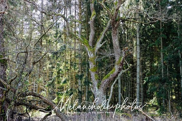 Lesniemen luonnonsuojelualue Särkisalon Vähämaalla