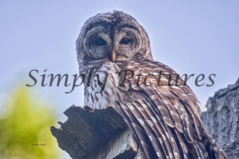 Owl  (45)