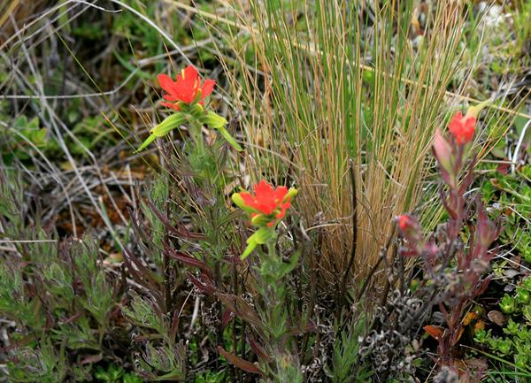 Wildflowers of the Paramos