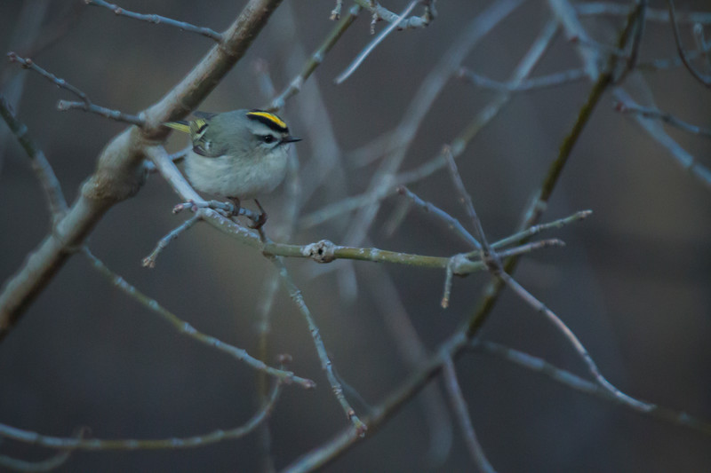 1.5.18 - Prairie Creek Recreation Area: Golden-crowned Kinglet