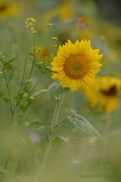 Sunflower Lonay_20092020 (62).JPG