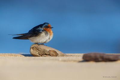 Swallows, Martins