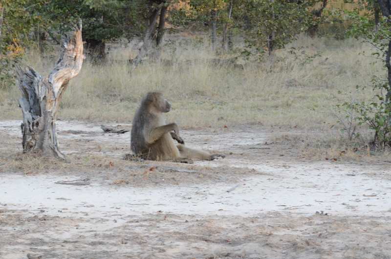 145 - Chacma Baboon - Zambia - Anne Davis