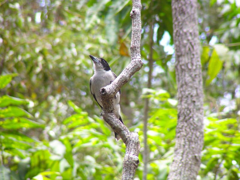 Grey Butcher Bird (Cracticus torquatus)