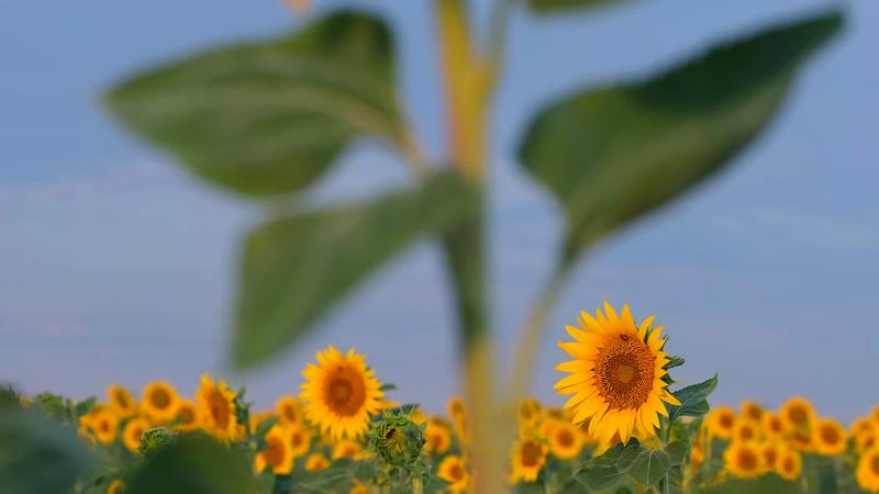 Sunflower Fields b-roll
