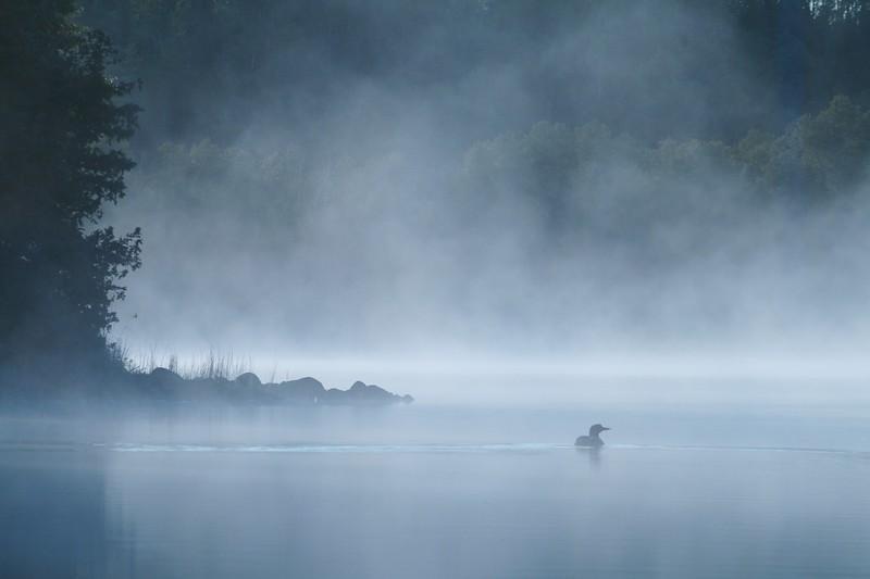Common Loon in a blue mist fog on a Boundary Waters lake [BWCA Minnesota] Gavia immer