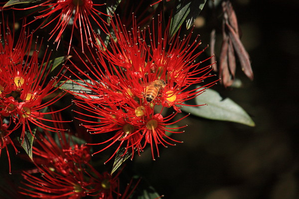 Italian honey bee on New Zealand Southern Rata