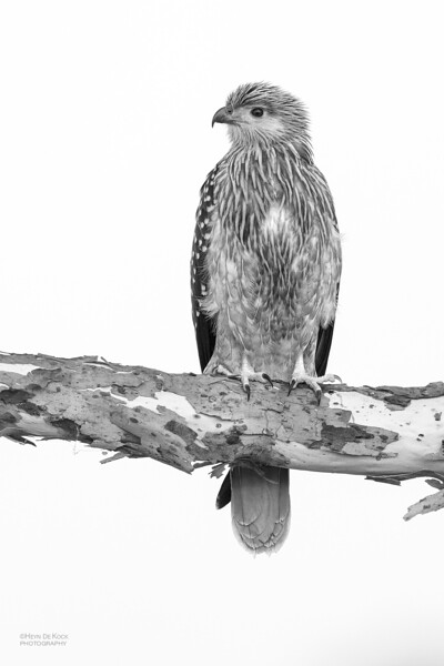 Whistling Kite, Lake Atkinson, QLD, b&w, Nov 2019-1.jpg