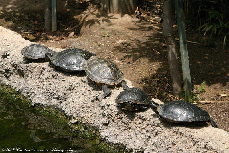 Slider Turtles.JPG