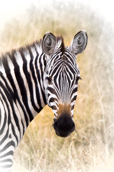 Young zebra looking back in grassy field.