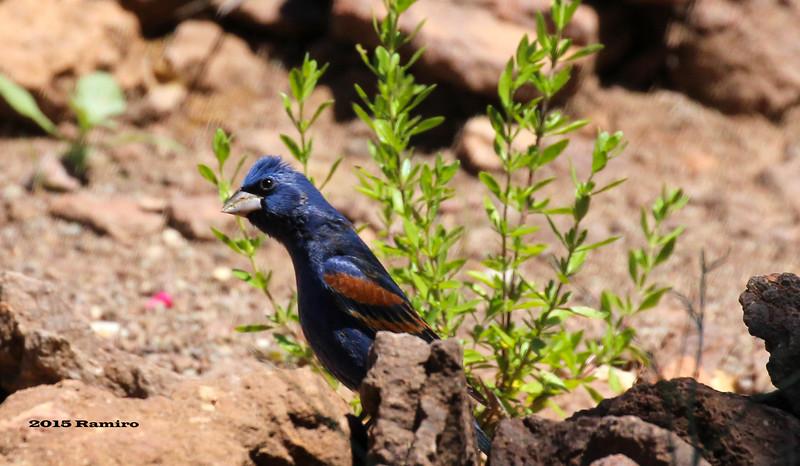 Blue Grosbeak1 5-16-15 255.jpg