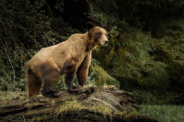 Grizzlies du Khutzemateen