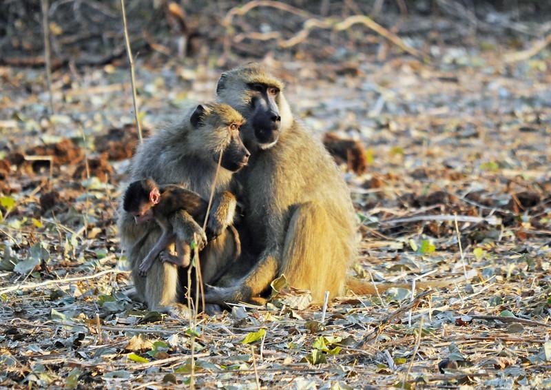 014_Yellow Baboon Family.jpg