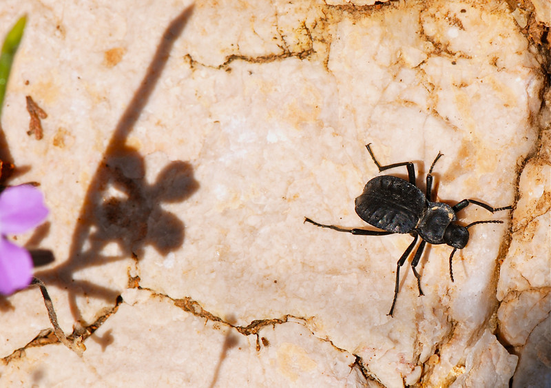 Beetle exact species to be identified, Camargue South of France 2009 ak