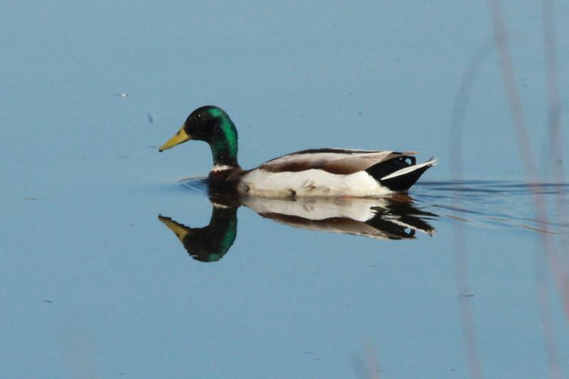 Mallard (Male) @ Simpson Lake CP