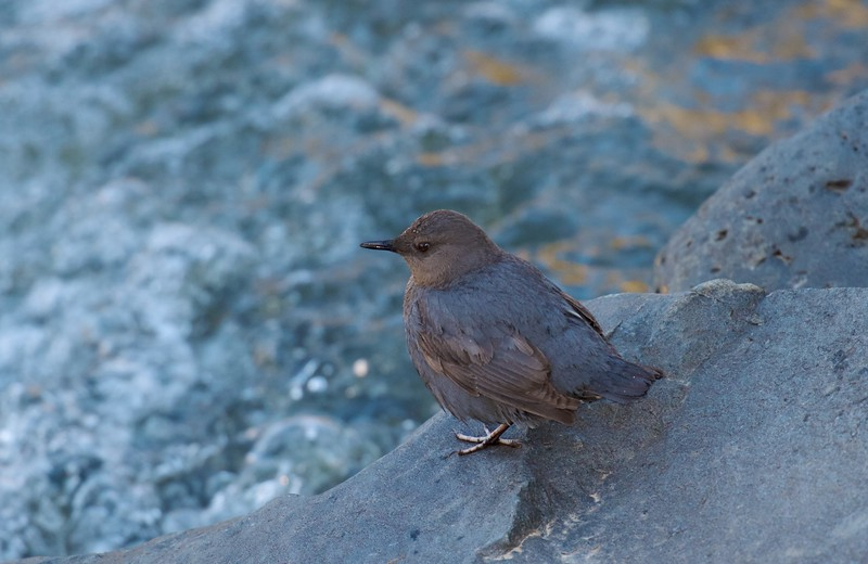 Dipper Yellowstone National Park WY IMG_4432.jpg