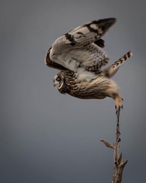 Short-eared Owl fluff takeoff