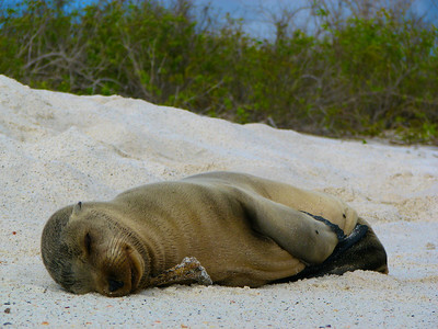 Baby Sea Lion sleeping on the Sand