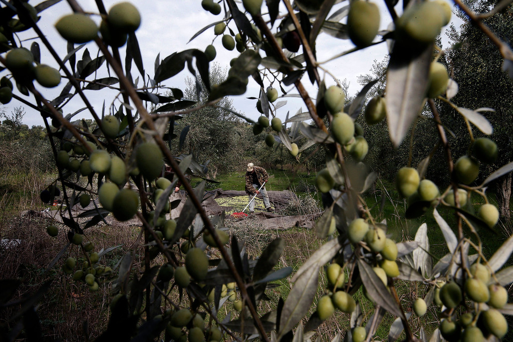 . Nikos Kolovos works on an olive grove in Kalo Pedi village, about 335 kilometers (210 miles) west of Athens, Greece on Friday, Nov. 29, 2013. Harvesting starts in October and finishes at the end of January. (AP Photo/Petros Giannakouris)