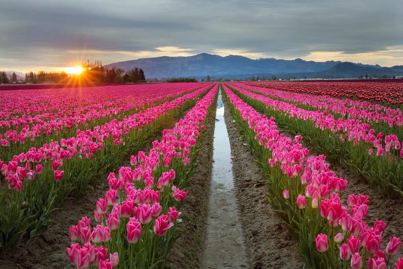 pink sunstar.jpg
