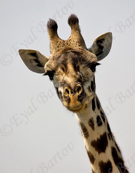 Giraffe KC7T7546.jpg