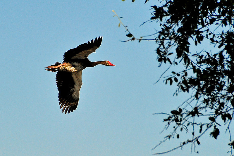 EPV0684 Spur-winged Goose in Flight