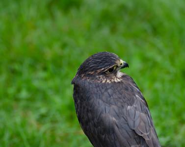 Spring Raptor Release 2012
