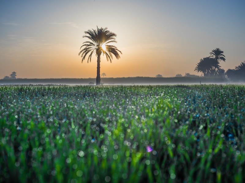 Plantación de caña de azucar en el valle del Nilo. Luxor. Egipto