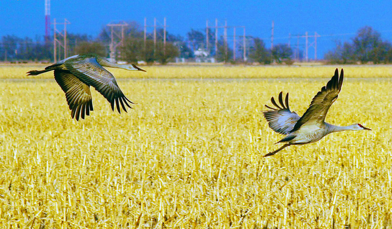 Two sandhill cranes over a central Nebraska cornfield