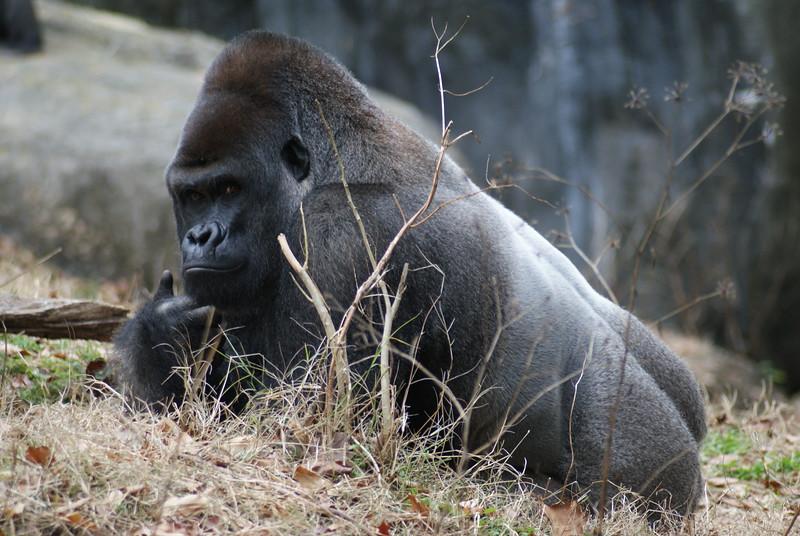 ATL Gorillas (55).JPG