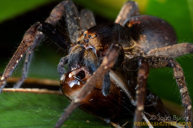 Ornate wandering spider preying on a king cricket