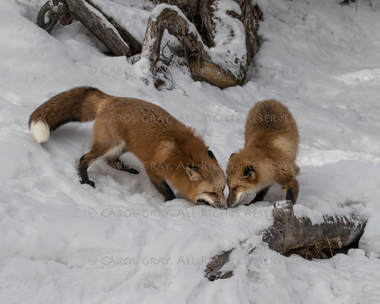 Red  Foxes in the Snow Gallery