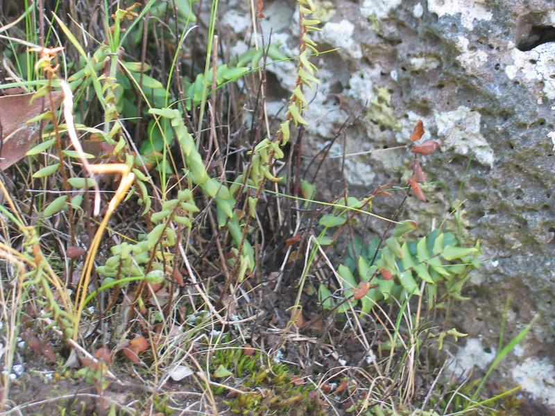 Pellaea falcata / Sickle Fern  Taken in October during drought.
