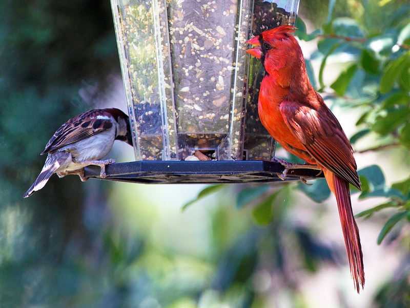 Cardinal and Sparrow eating amicably ...