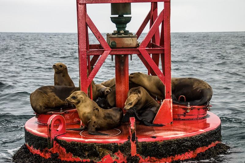 Newport Harbor_Sea Lions-4.jpg