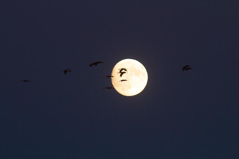 Sandhill Crane full moon fly in flight Crex Meadows Grantsburg WI IMG_2231.jpg