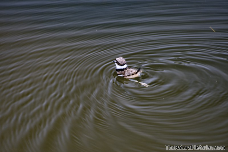 Killdeer-fledgling-first-swim-ohio-hatched.jpg