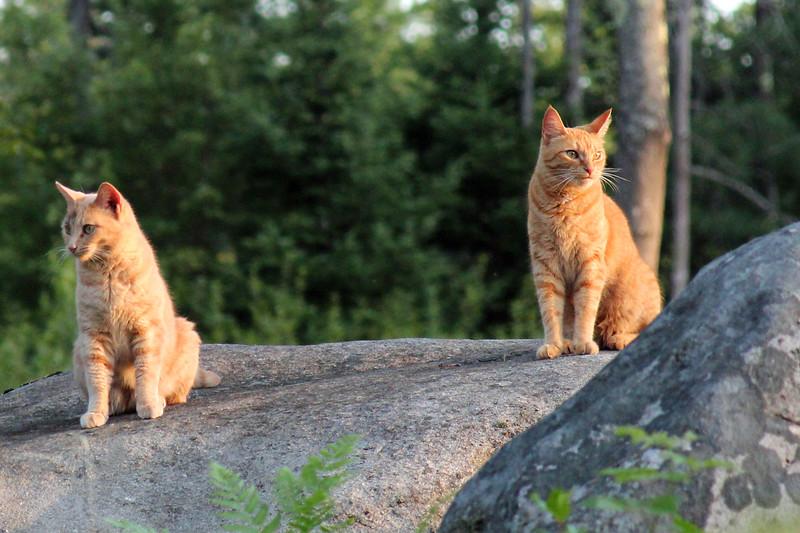 Evening Cats.jpg