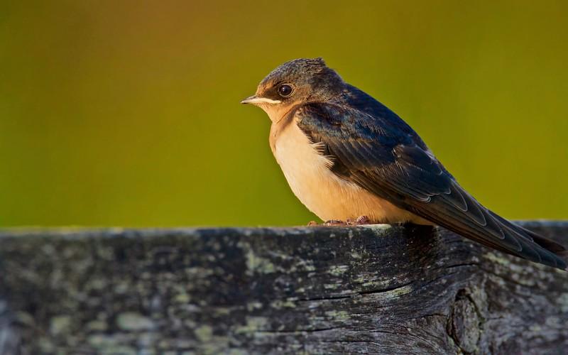 Barn Swallow juvenile