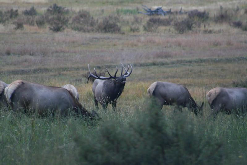 20080911-12 - Rocky Mountain NP - 09 Elk.JPG