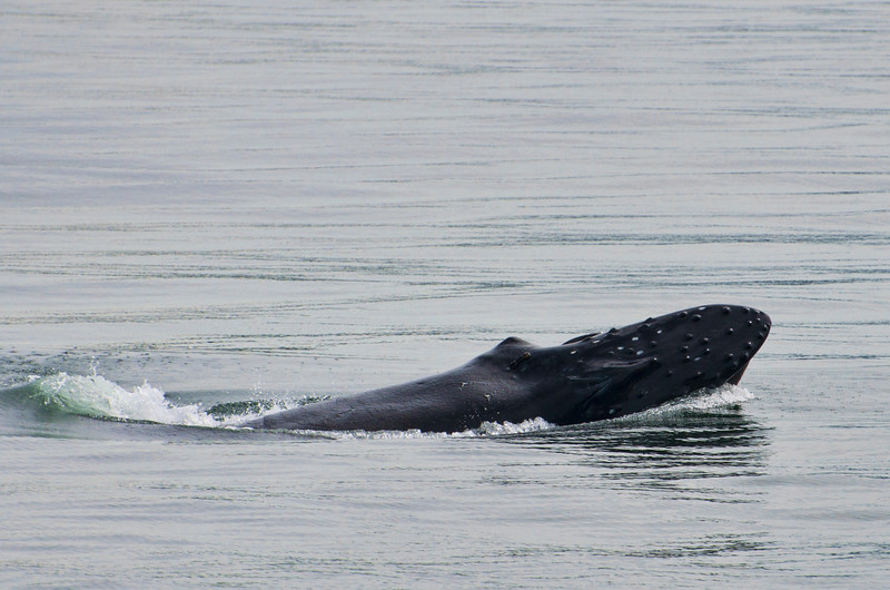 A humpback whale surfaces to eat krill in the water near Juneau.